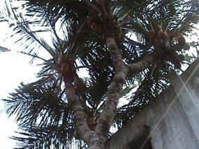 Kelapa cabang 9