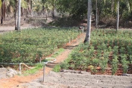 Cocopeat pada tanaman Cabe1